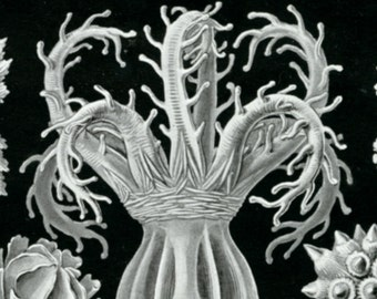 Coral Drawing, Science Drawing, Coral Sea, Sea Drawing, Drawing Coral, Sea Coral, Sea Coral Drawing, Sea Science, Coral Science, Haeckel Art