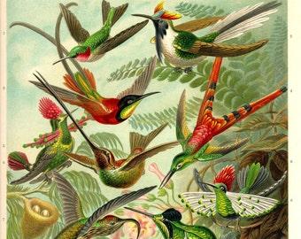 Hummingbird, Giclee Print, Ernst Haeckel, Art Print, Hummingbird Art, Bird Decor, Humming Bird, Art Nouveau, Vintage Illustration, Bird Art