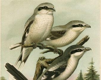 Shrike Bird, Bird Art, Bird Shrike, Art Bird, Art Decor, Decor Art, Bird Art Decor, Bird Decor, Decor Bird, Bird Prints, Nature Print, Birds