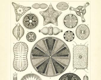 Plankton Drawing, Life Plankton, Marine Plankton, Drawing Plankton, Marine Life, Plankton Life, Life Drawing, Marine Life Plankton, Haeckel