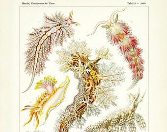 Ernst Haeckel Nudibranchia FIne Art Print from Kunstformen der Natur, Plate 43, Tafel 43, Aeolis Nudibranch Sea Slugs Illustration Print