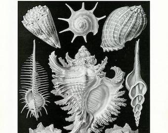 Sea Shells, Scientific Illustration, Sea Illustration, Sea Shells Illustration, Shells Sea, Shells Illustration, Illustration Sea, Haeckel