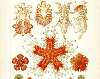 Ernst Haeckel, Starfish Drawing, Drawing Starfish, Ernst Haeckel Starfish, Ernst Haeckel Drawing, Haeckel Ernst, Haeckel Drawing, Coral, Art