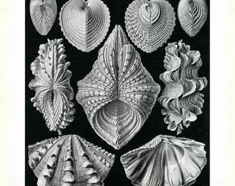Oyster Shell, Oyster Clams, Shell Oyster, Clams Shell, Shell Clams, Clams Oyster, Oyster Print, Print Oyster, Shell Print, Print Shell, Art