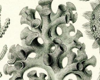 Sea Sponges, Sponges Art, Art Sponges, Sponges Sea, Haeckel Art, Sea Art, Art Sea, Ernst Haeckel, Haeckel Ernst, Haeckel Drawing, Sea Decor
