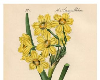 Yellow Narcissus, Botanical Illustration, Narcissus Illustration, Narcissus Yellow, Narcissus Botanical, Yellow Illustration, Illustration