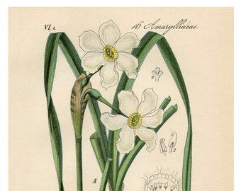 White Narcissus Botanical Drawing Giclee Reproduction on Museum Quality Fine Art Paper or Canvas, Gallery Wrapped  Available