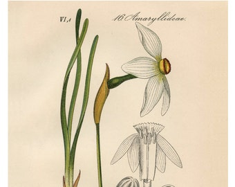 White Narcissus, Yellow Narcissus, Narcissus White, Narcissus Yellow, Narcissus Botanical, White Botanical, Botanical White, Yellow White