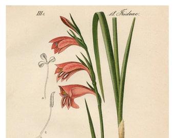 Pink Gladiolus, Gladiolus Pink, Gladiolus Illustration, Botanical Illustration, Pink Botanical, Illustration Botanical, Pink Illustration
