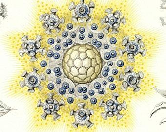 Marine Biology, Biology Art, Biology Marine, Marine Art, Art Marine, Marine Biology Art, Art Prints, Art Biology, Biology Prints, Haeckel