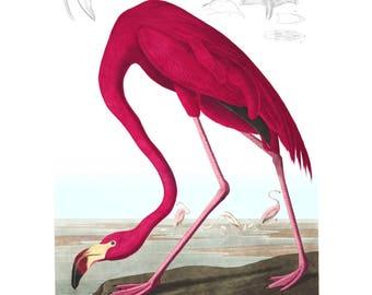 American Flamingo, Audubon Flamingo Print, Audubon Flamingo, American Flamingo Audubon, Audubon American Flamingo, Flamingo Audubon Print