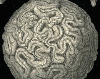Brain Coral, Brain Illustration, Coral Brain, Coral Illustration, Illustration Brain, Coral Sea, Sea Coral, Haeckel Print, Coral Print, Art