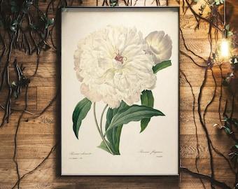 Paeonia Lactiflora, Peony Drawing, Peony Botanical Illustration, Redoute Peony, Peony Print, Botanical Drawing Peony, Peony White, Wall Art