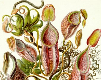Pitcher Plant, Botanical Illustration, Plant Pitcher, Pitcher Plant Illustration, Plant Illustration, Botanical Plant, Pitcher Illustration