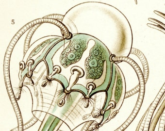 Medusa Drawing, Jellyfish Drawing, Medusa Jellyfish, Jellyfish Medusa, Drawing Jellyfish, Haeckel Drawing, Drawing Medusa, Haeckel Jellyfish