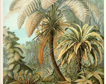 Botanical Art, Ernst Haeckel, Fern Print, Art Print, Art Nouveau, Botantical Print, Fern, Antique Botanicals, Fern Decor, Fern Wall Art
