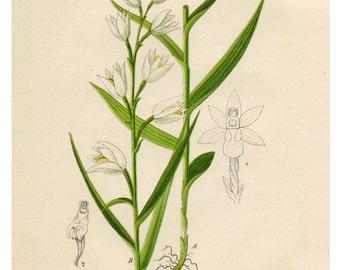 Botanical Print, White Helleborine, White Flowers, Floral Print, Botanical, Illustration, Vintage Botanical Art Print, Flower Wall Art, Art