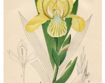 Yellow Flowers, Botanical, Illustration, Yellow Iris, Giclee Print, Floral Print, Vintage Botanical Art Print, Flower Wall Art, Flower Print