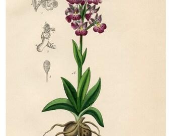 Orchids, Purple Flowers, Purple Orchid, Floral Print, Botanical, Illustration, Vintage Botanical Art Print, Flower Wall Art, Giclee Print