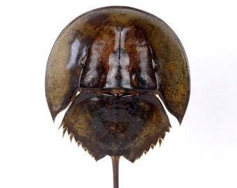 Small horseshoe crab on foot - Cabinet de curiosités