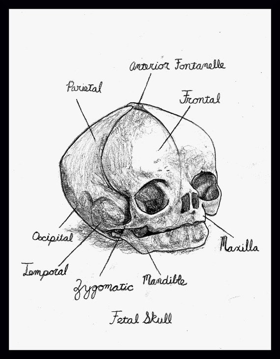 Human Fetal Skull Drawing With Anatomical Notes Etsy