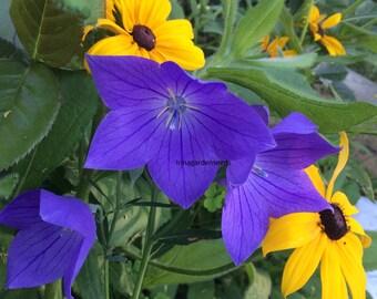 Platycodon 'Sentimental Blue ballon flower Fresh SEEDS PERENNIAL 40+ seeds