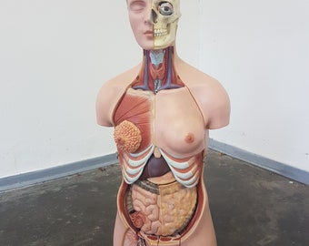 Vintage anatomic model by Somso