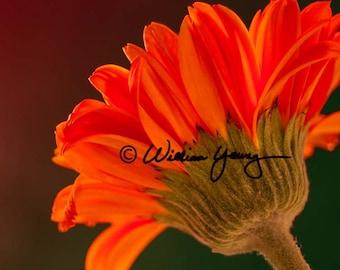 Daisy (5150), Fine Art Photography, Gerber Daisy, Daisy, Daisy Photo, Floral Wall Decor, Floral photography, Flower Photo