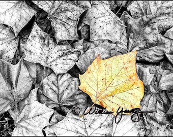 Autumn Leaves (4666), Fine Art Photography, Black and White, Tinted, Selective Color, Autumn Leaves, Tinted Black and White, Fall Photo