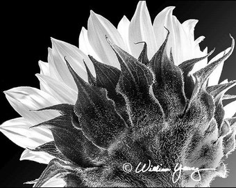 Back of the Sunflower (5195)