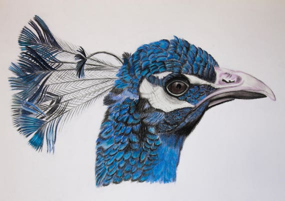 Peacock Print, Peacock Drawing, Bird Print - two sizes 8 25 x 5 75 inches  and 11 75 x 8 25 inches
