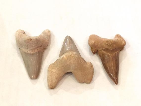 Beautiful SHARK TEETH FOSSILS// Shark Teeth// Small Fossils// Fossil// Healing Crystals// Healing Tools// Authentic Fossils// Eocene Teeth