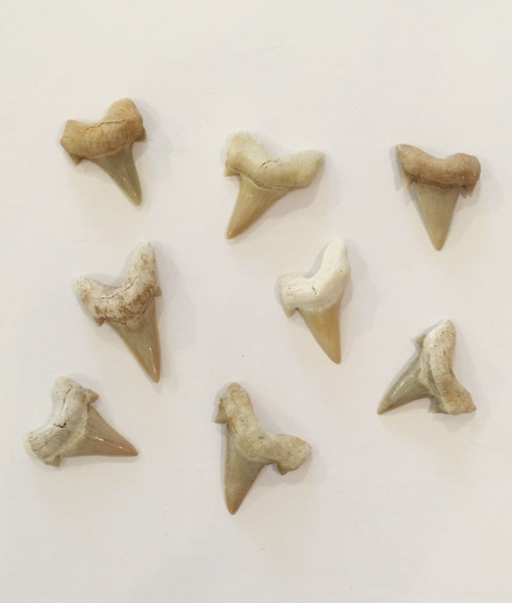 Beautiful SHARK TEETH FOSSILS// Shark Teeth// Small Fossils// Fossil// Healing Crystals// Healing Tools// Authentic Fossils// Eocene Teeth
