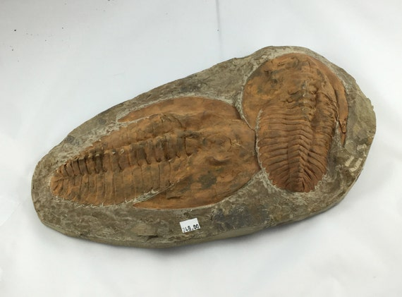 TRILOBITE Fossil Large // Fossils// Raw Crystals// 450 Million Years Old// Home Decor//  Statement Piece// From Morocco