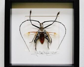 One large longhorn beetle Batocera wallacei proserpina male