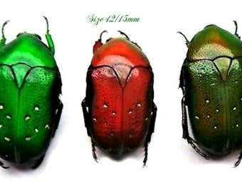 :  Lot of 10 lomaptera lucidula flowerbeetle UNMOUNTED A1 dried insects Supplies for your artworks FREE SHIPPING