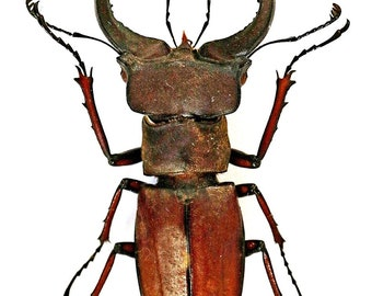 Supplies for taxidermy artworks Set two Lucanus tsukamotoi 4045mm stag beetle UNMOUNTED A1 quality FREE SHIPPING dried insects