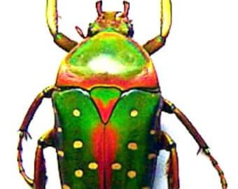 Flower Beetle Stephanorrhina Adelpha Entomology Collectible In Display