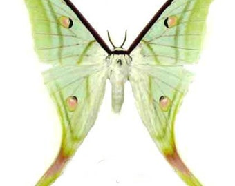 One very beautiful  silkmoth Actias selene ningpoana a1/aa- with wings closed, for all your taxidermy art projects