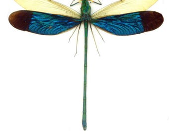 Pack of 3 damselflies neurobasis chinensis florida  SPREAD for all your taxidermy art projects  a1