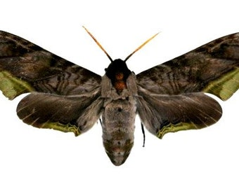 One large and awesome hawkmoth Acanthosphinx guessfeldtii  wings closed aa-quality , for all your taxidermy art projects