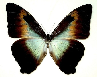 One huge morpho cisseis gahua brown form  a1/aa- unmounted with closed wings , for all your taxidermy art projects