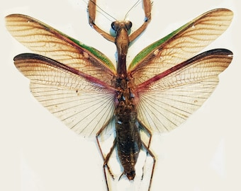 One nice praying mantis rhombodera javana alredy spread for all your taxidermy art projects