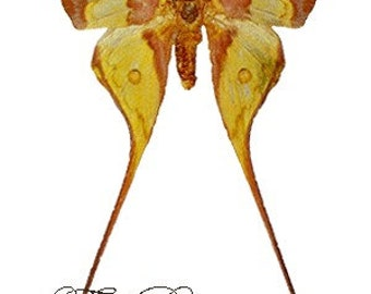 One very beautiful  and longtailed silkmoth Actias maenas a1/aa- with wings closed, for all your taxidermy art projects