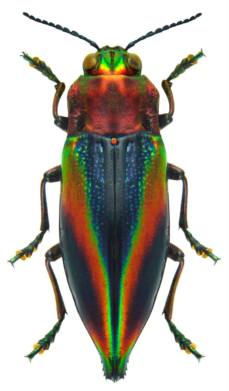 Pack of 10 jewel beetles Cyphogastra javanica 2Omm aa for all your taxidermy art projects FREE SHIPPING