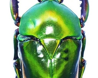 Pack of 2 scarab beetles Eudicella morgani togolensis  for all your taxidermy art projects