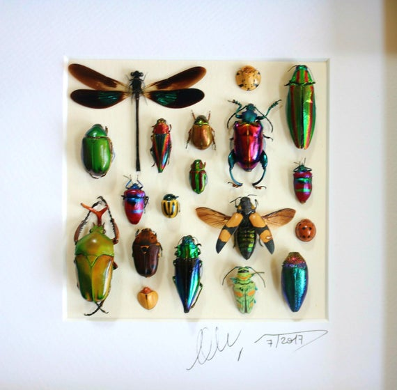 Frame with mounted beetles Shadowbox taxidermy with real insects FREE SHIPPING