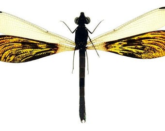 Pack of 3 damselflies rhinocypha anisoptera , SPREAD , for all your taxidermy art projects