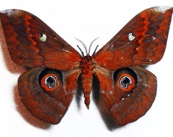 Collectorsitem : One awesome silk moth Salassa thespis  , wings closed aa- , for all your taxidermy art projects