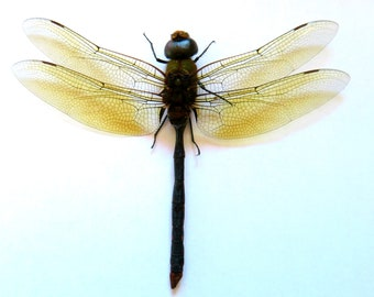 Pack of two huge golden damselflies Anax ssp  SPREAD for all your taxidermy art projects  a1
